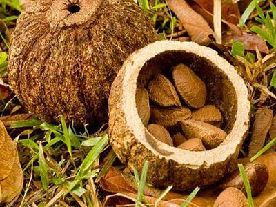 Бразильский орех: секреты «заморского гостя»