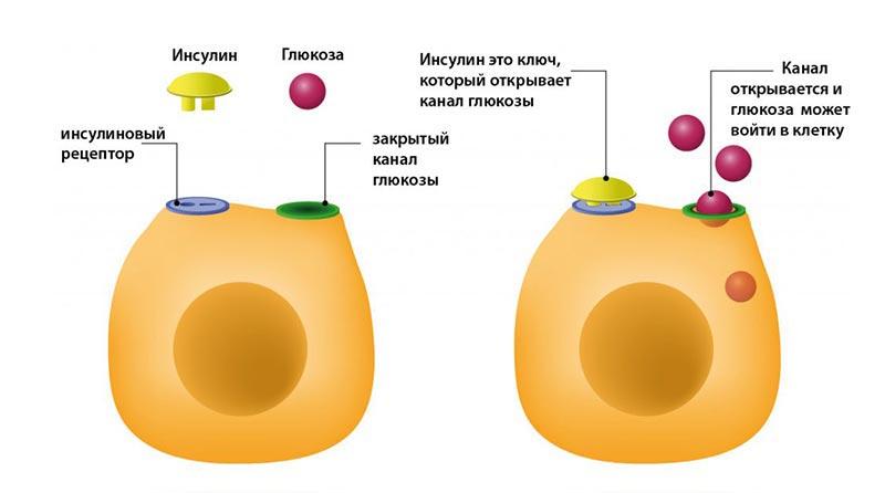 >Инсулин и его роль в организме